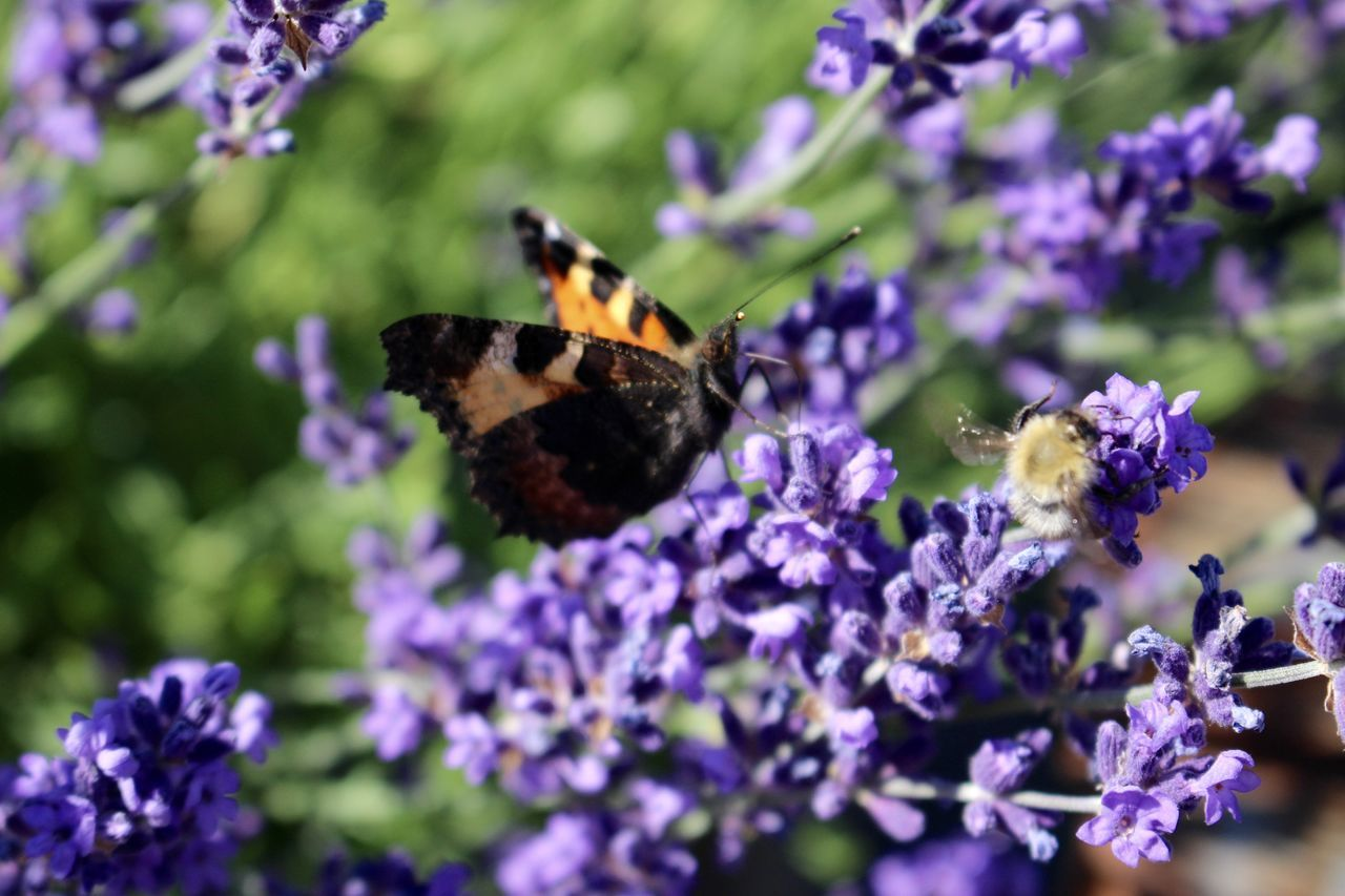 purple, flower, insect, animal themes, fragility, one animal, animals in the wild, nature, beauty in nature, lavender, freshness, plant, butterfly - insect, petal, day, no people, pollination, growth, outdoors, animal wildlife, close-up, bee, flower head