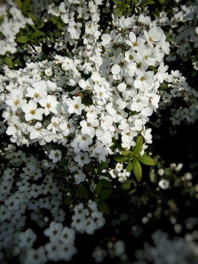 🌼 Thunberg Spirea 🐝🐝 Flower Beauty In Nature Nature Plant Beauty In Nature LoveFlowers🌸 Loveflowers Flowers 🌸🌸🌸 Thunberg Spirea Tokyo,Japan White Color
