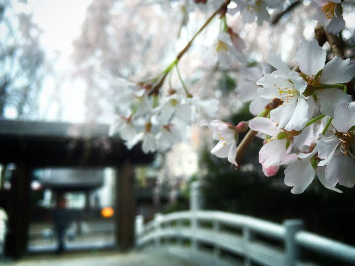 Beautiful Day Memories Relaxing 桜 玉蔵院 しだれ桜 曇り空 Sakura2015 Enjoying Life