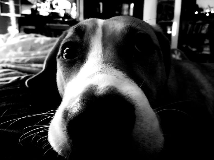 EyeEm Selects #dog #animal Portrait #Animals #blackandwhite #b&w Close-up Looking At Camera Headshot Portrait Indoors  Day