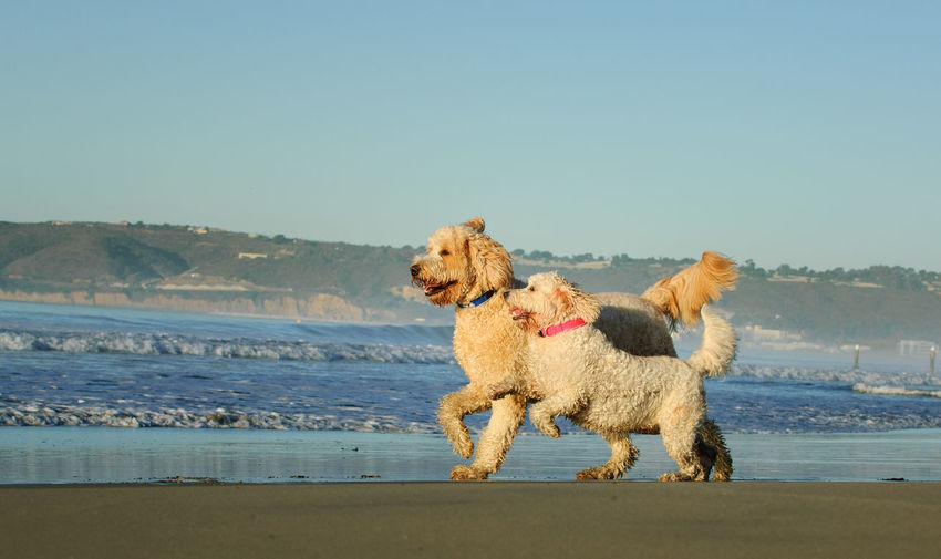 Dogs running on shore at beach