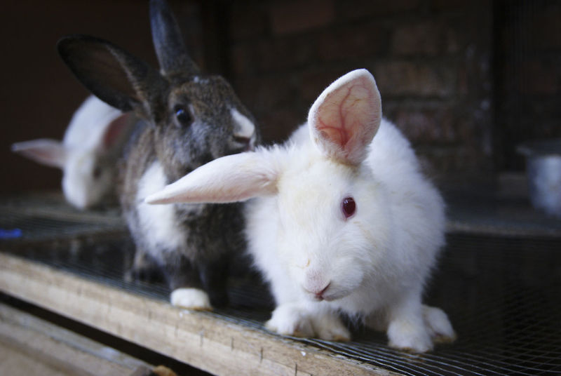 Animal Head  Animals Close-up Cute Day Domestic Animals Focus On Foreground Hare Looking Mammals Nature Omnivore Pets Portrait Rabbits White Color Young Animal