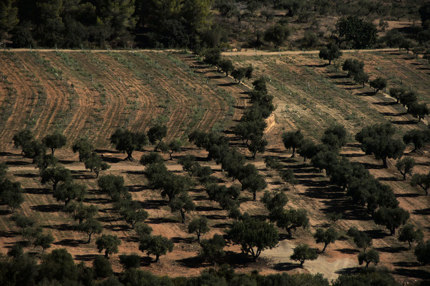 Olive trees near Tarragona. Plant Landscape High Angle View Agriculture No People Land Environment Field Rural Scene Nature Tranquility Growth Beauty In Nature Scenics - Nature Outdoors Plantation Tranquil Scene Tree Lines And Shapes