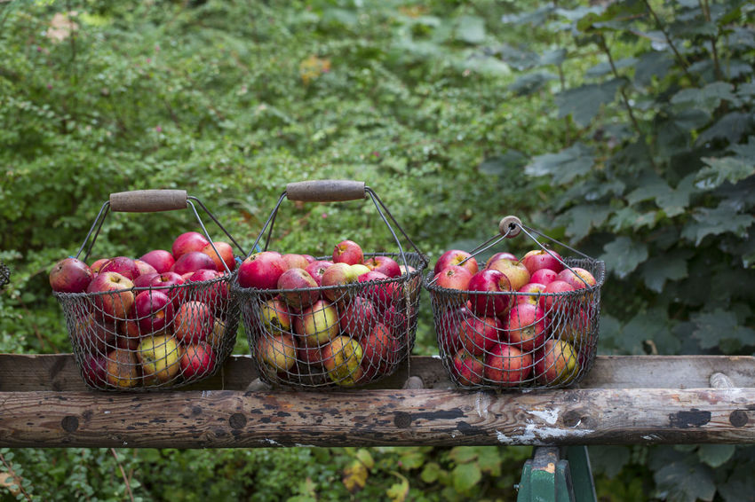 old fashioned baskets full of red apples Apple Red Thanksgiving Agriculture Basket Country Life Food Food And Drink Freshness Fruit Harvest Healthy Eating Nature No People Outdoors Red Apple Rural Scene Sweet Food