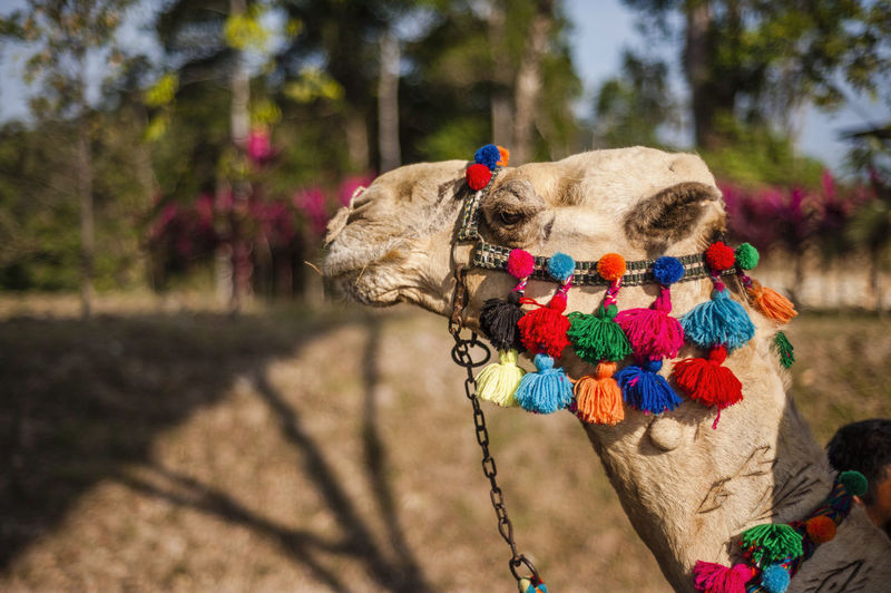 Side view of decorated camel