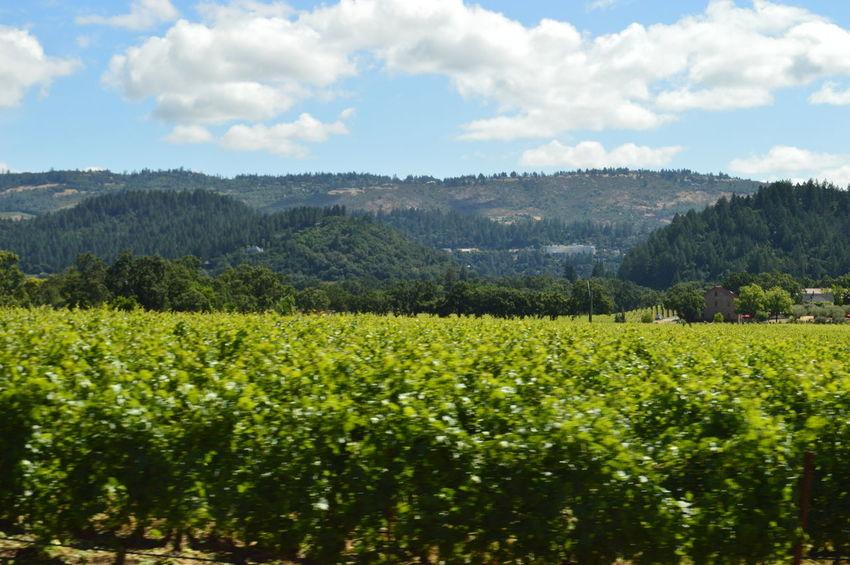 NapaValley Nature Outdoors Sky Tree Winecountry