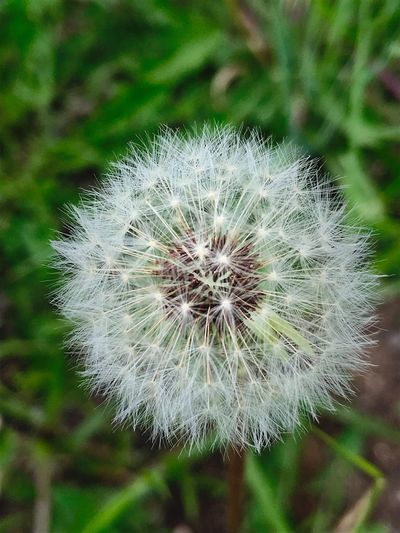"""""""Fairyland"""" Like tiny ethereal fairies dancing on top of a conical, mystical world, these fluffy dandelion seeds await their inevitable journey into propagation. New Mexico New Mexico Photography Metaphor Seeds Of Life Seeds Propagation Fragility Vulnerability  Dandelion Close-up Dandelion Seed Nature Focus On Foreground"""