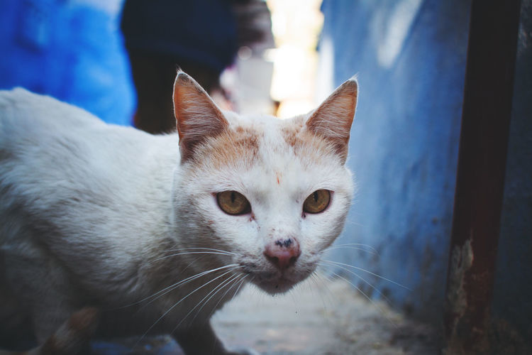 Animal Themes Blue Cat Chefchaouen Close Up Close-up Day Domestic Animals Domestic Cat Feline Focus On Foreground Ginger Cat Indoors  Looking At Camera Mammal Medina Moroccan Morocco No People One Animal Pets Portrait Portraits Street Cat Whisker The Street Photographer - 2017 EyeEm Awards