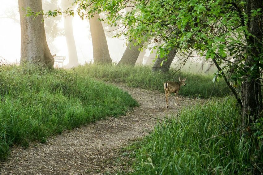 Found a lone Deer walking down a Path . You can see the ear of another one hiding. In The Forest Forest Path Walking In The Woods