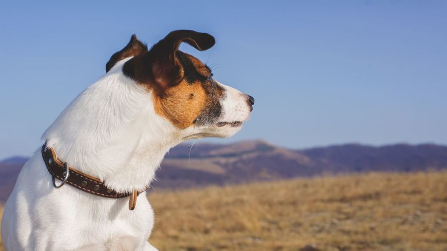 Close-up of dog on field against mountains