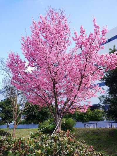 Sakura Park Flower Tree Pink Flower 🌸 Pink Spring Beautiful Nature Nature_collection Season  Senery
