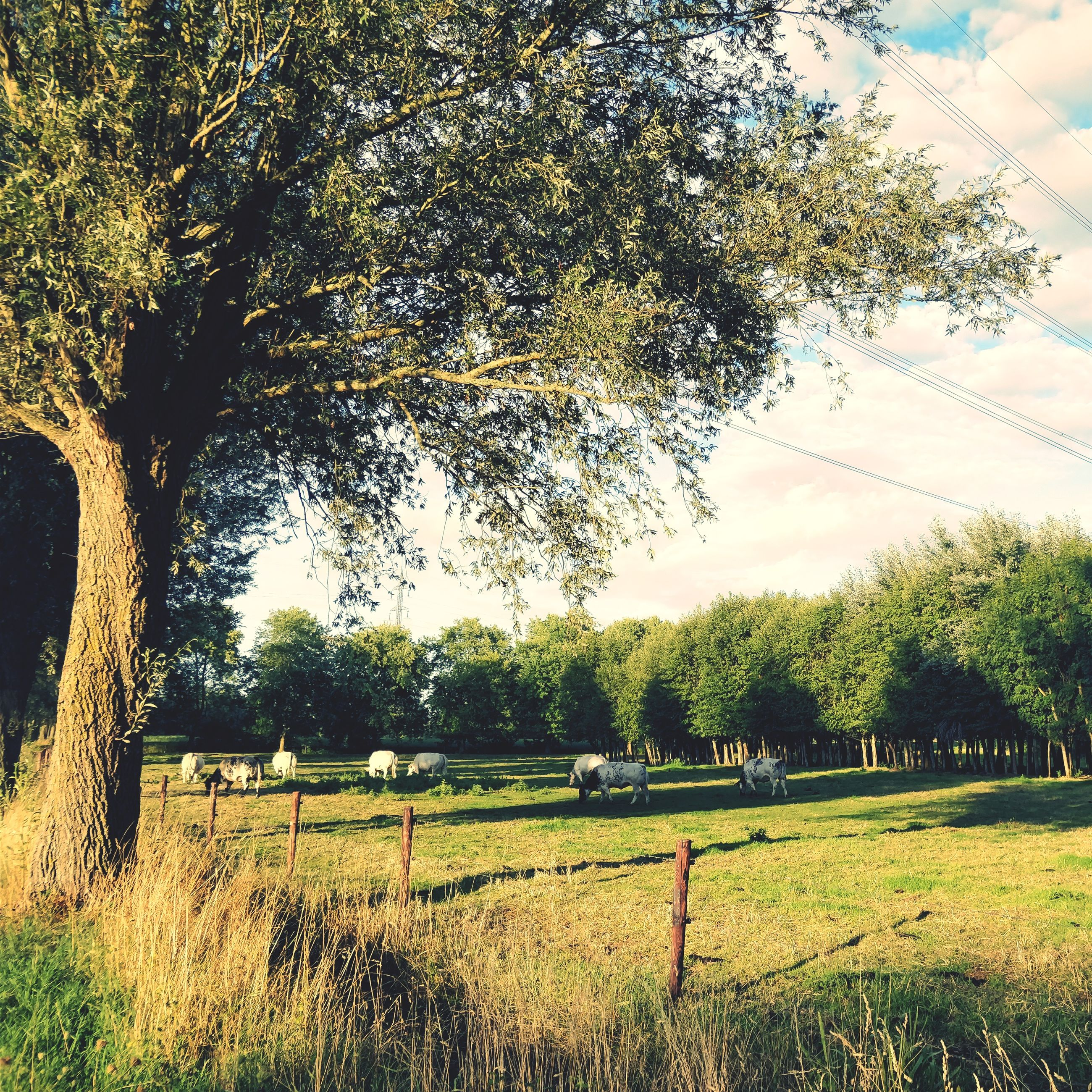 tree, grass, field, growth, nature, landscape, beauty in nature, tranquility, agriculture, tranquil scene, scenics, day, rural scene, no people, green color, outdoors, tree trunk, sky, branch