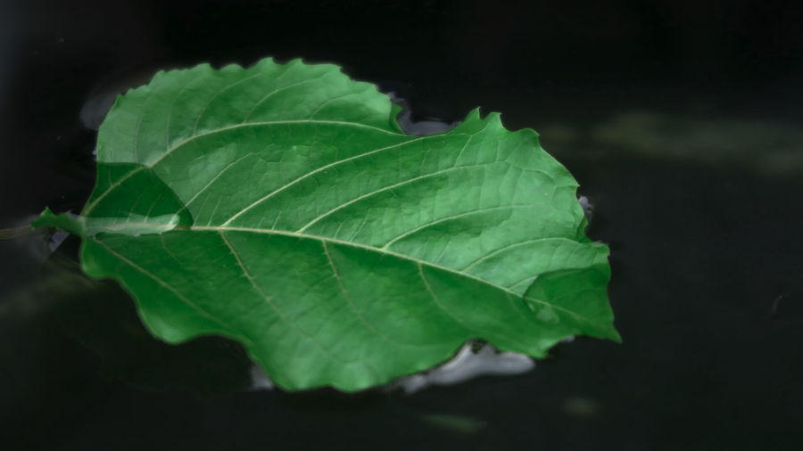 Close-up of green leaves against black background