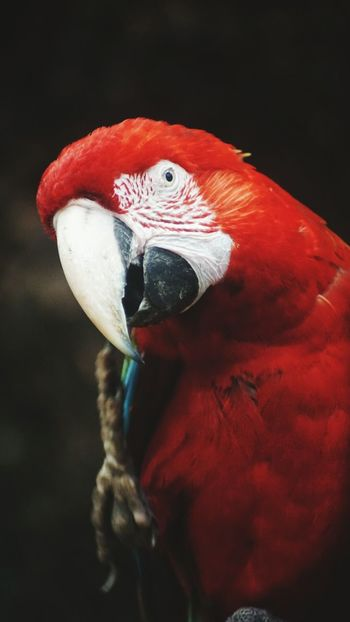 What You Looking At? I See You Red Parrot