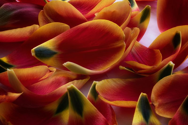 Tulip petals Flower Petal Flowering Plant Beauty In Nature Fragility Plant Vulnerability  Close-up Full Frame No People Nature