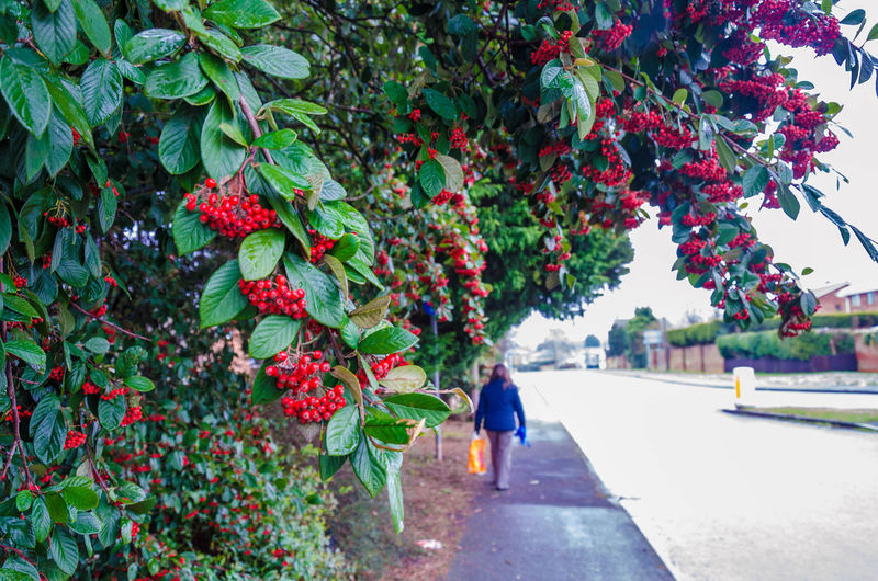 Beauty In Nature Berries Cotoneaster Nature One Person Outdoors Pavement Pedestrian Red Road Sidewalk Tree Walking