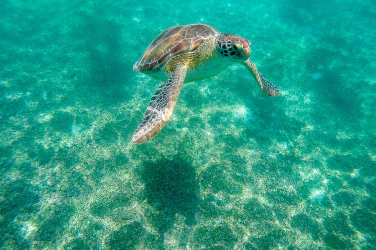 Sea turtle swimming in turquoise colored water