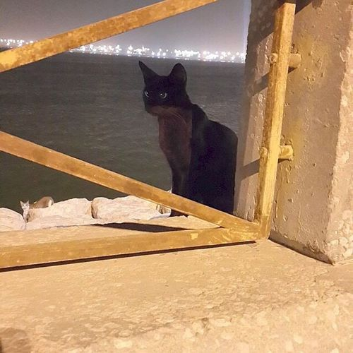 زينها ❤️ تصويري  صور لقطة الخبر Alkhobar KSA Photo Picture Black Cat Cat Walking Around