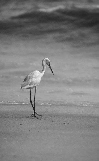 Bird Animal Wildlife Flamingo Nature No People Outdoors Beach India Kerala Beauty In Nature Eyeem Photography Black & White EyeEm Simplicity