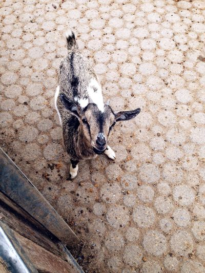 Kid Baby Goat Baby Goats Looking Up Horns Hello World From My Point Of View From Where I Stand Petting Zoo Pettingfarm Animal Cute