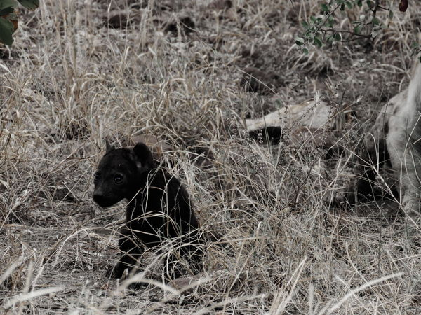 The darkest young hyena I have ever seen.... Black & White Contrast Hyena Hyena Cub Baby Pets Dog Field Grass Close-up