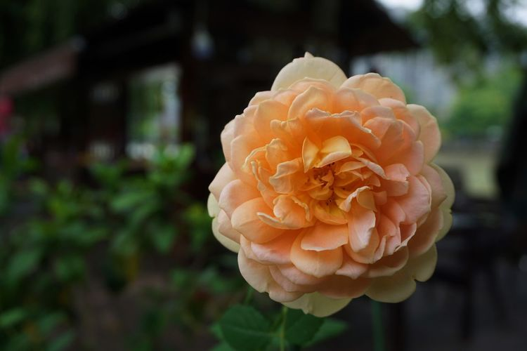 Close-up of rose in park