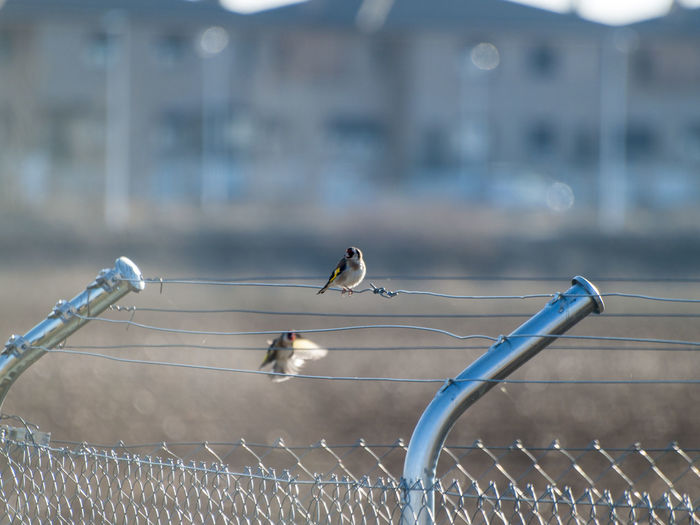 Animals In The Wild EyeEm Best Shots EyeEmNewHere Goldfinches Metallic Fence Nature Urban Animals Urban Birds Animal Themes Biodiversity Bird Bird Watching Birds Carduelis Carduelis Environment Fence Fench Goldfinch Metal Perching person Rural Scene Spread Wings Wildlife Wire