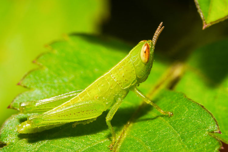 蚱蜢 Grasshopper
