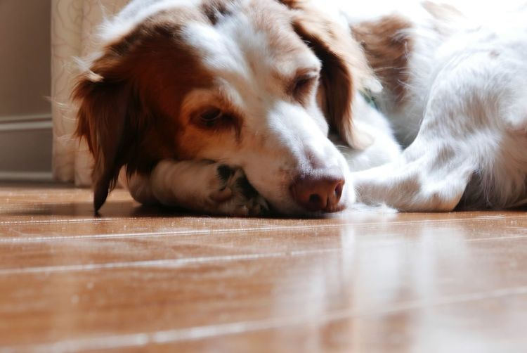 Brittany EyeEm Selects One Animal Domestic Pets Mammal Domestic Animals Animal Themes Dog Canine Relaxation Flooring Lying Down Close-up Animal Body Part Sleeping Eyes Closed  Resting