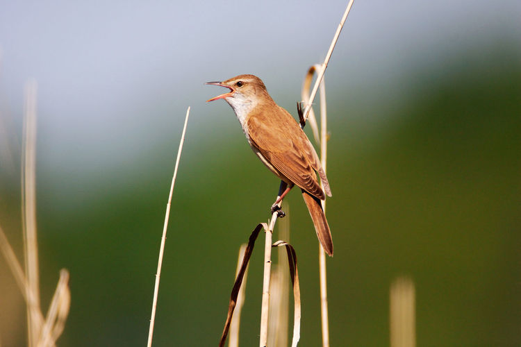 Great reed warbler singing in reeds