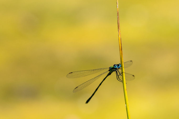 Dragonfly perched on a grass stem