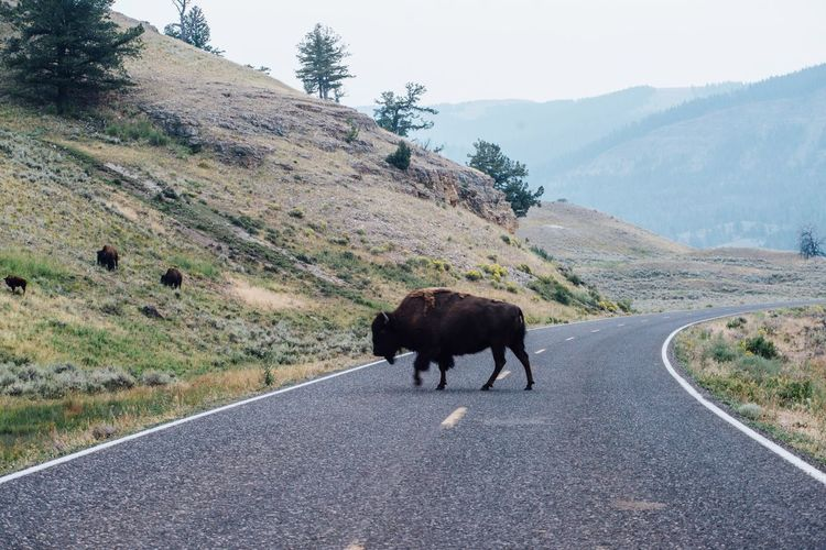 Road Nature One Animal Asphalt Mountain American Bison No People Outdoors Animal Themes Mammal Animals In The Wild Day Beauty In Nature Bison