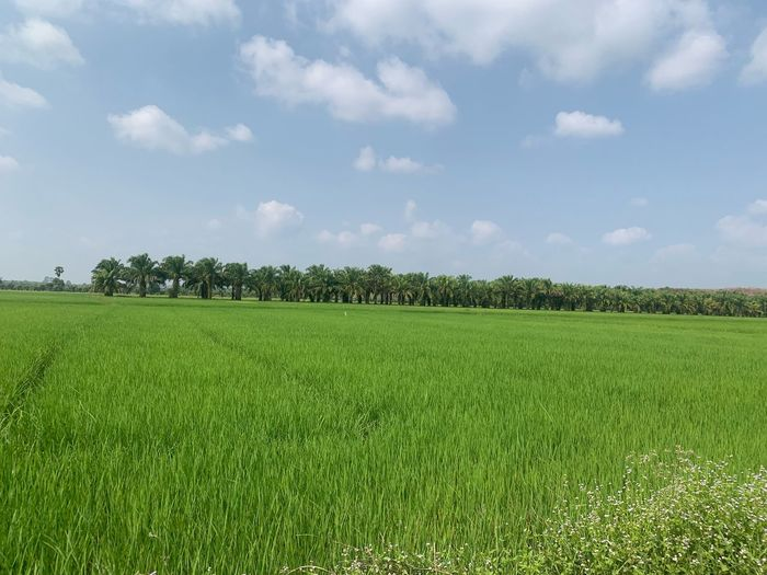 Thailand🇹🇭 Thailandtravel Iife Lifestyles Green Rice Field Plant Growth Green Color Sky Field Landscape Land Agriculture Cloud - Sky Environment Tranquil Scene Rural Scene Tranquility Beauty In Nature Scenics - Nature Nature Day Farm No People Crop