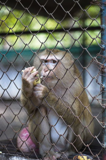 Monkey in the cage Animal Animal Themes Animal Wildlife Animals In Captivity Animals In The Wild Cage Close-up Day Fence Focus On Foreground Mammal Monkey No People One Animal Outdoors Primate Trapped Vertebrate Zoo Zoology