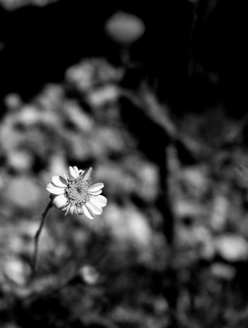 One determined desert flower. Desert Beauty Eyemphotography Photography Tucson Arizona  Surreptitious Night Thephotographer Outdoors Walking Around Desertflower Monochrome