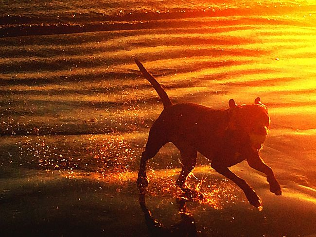 A Dogs Life Dog Dog Love Dusk Beach Beachphotography Life Is A Beach Sunset Silhouettes Long Beach, California USA  IPhoneography