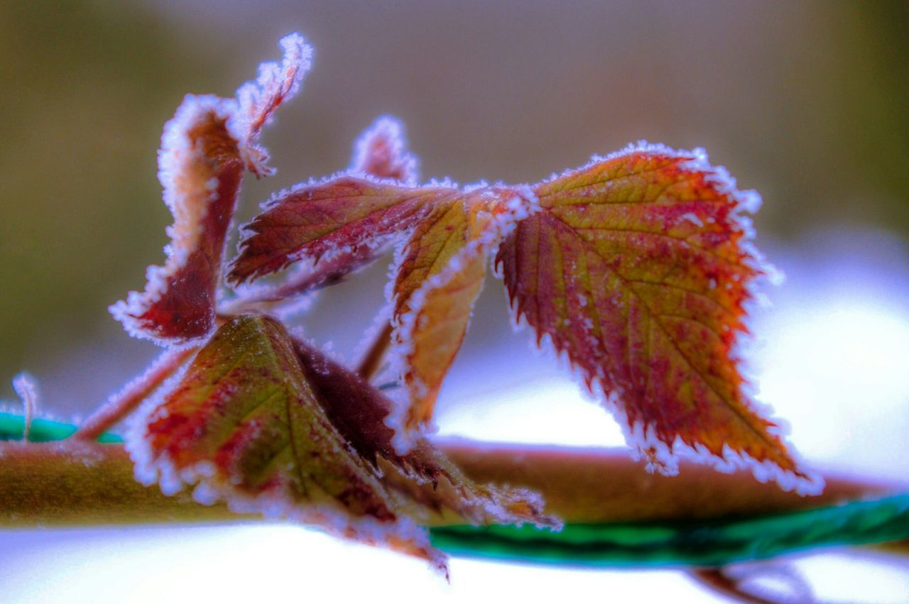 Close-Up Of Frosty Plant
