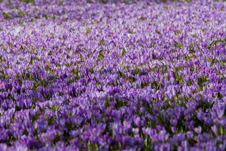 Autumn Mood Flower Flowering Plant Purple Beauty In Nature Plant Freshness Lavender Colored Field Full Frame Lavender Nature Fragility Growth Vulnerability  Land Agriculture No People Close-up Backgrounds Selective Focus Flower Head Flowerbed Krokus Husum