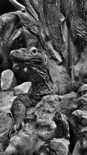 I am a dangerous lizard... Lizard Lizard Nature Lizard Love Zoo Animals  Reptil Komodo Dragon Predator Animal Photography Close-up Monochrome Photography Monochromatic Black And White Photography