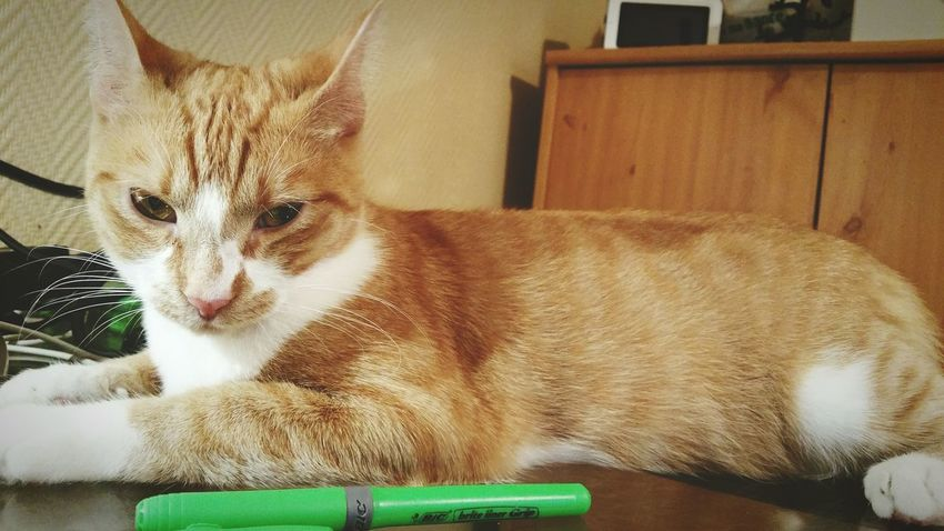 Catoftheday Dodotime Cute Cats Roux Beautiful Eyes Repos  Principessa