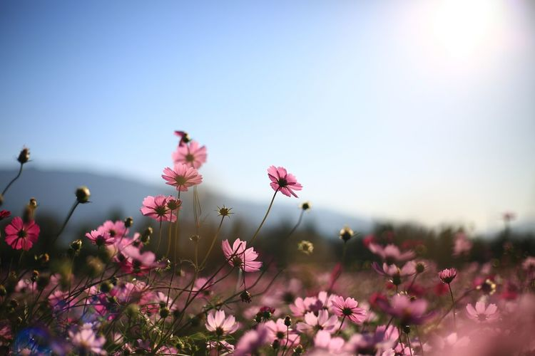 Flower Flowering Plant Plant Growth Nature Outdoors Cosmos Flower EyeEmNewHere EyeEm Nature Lover Beauty In Nature Freshness Fragility Autumn Inflorescence Vulnerability  Sky Pink Color Close-up Petal Flower Head No People Selective Focus Clear Sky