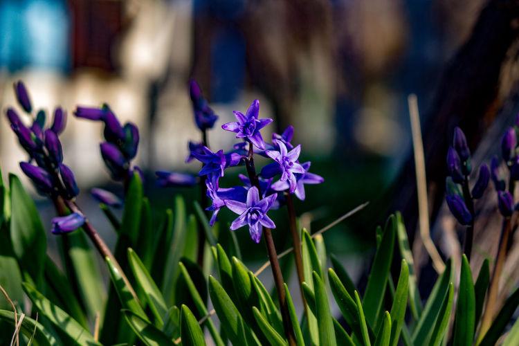 Hiacinth Flower