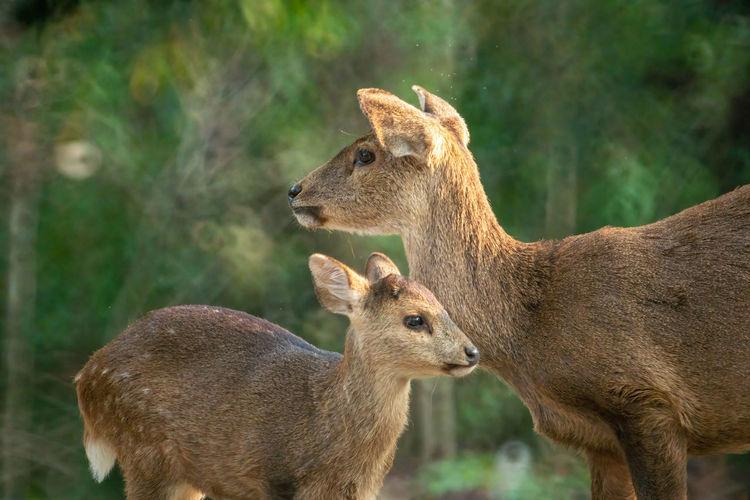 Deer in a sunlight
