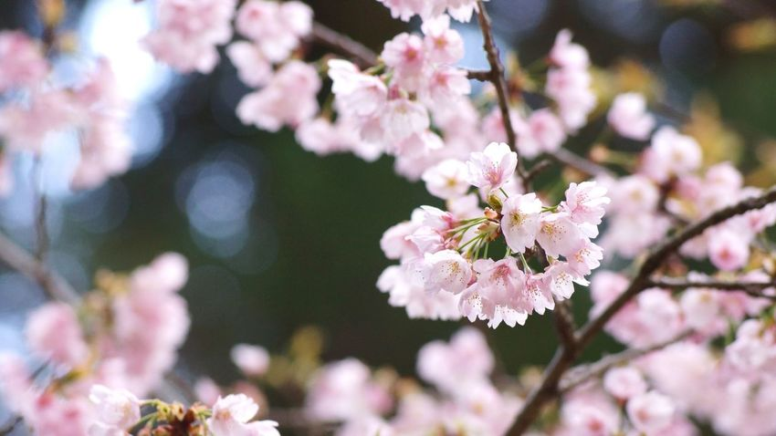 Flower (null)Beauty In Nature Cherry Blossom Springtime Pink Color Sakura