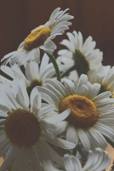 Plants And Flowers Nature On Your Doorstep EyeEm Nature Lover Nature Photography EyeEm Best Shots - Nature EyeEm Flower Camomile White Flower WhiteandyellowNature_collection Eyeemphotography Summer Summertime Calmness Plant
