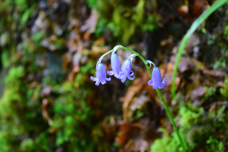 Beauty In Nature Blooming Bluebell Bluebell Wood Bluebells Bluebells In The Woods Close-up Day Flower Flower Head Focus On Foreground Forest Forest Floor Forest Flower Forest Flowers Fragility Freshness Growth Macro Nature No People Outdoors Petal Plant Single Flower