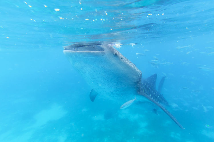 Portrait Of Whale Shark