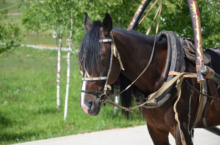 Horse ЯПРФ Domestic Animals Grass Horse Horse Cart One Animal Outdoors Working Animal