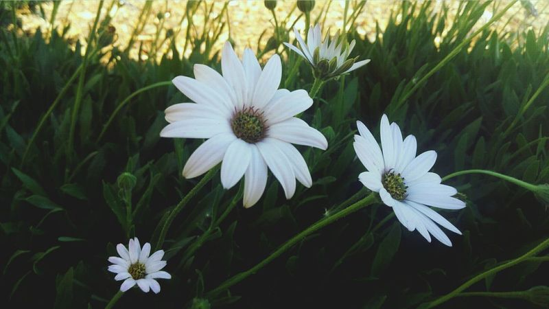 Flower White Color Flower Head Petal Plant Nature Beauty In Nature Day Outdoors Growth Close-up No People Fragility Osteospermum Grass Freshness EyeEmNewHere Low Angle View Let's Go. Together.