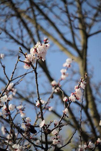 Spring memories EyeEm Selects The Week On EyeEm Flower Branch Blossom Nature Fragility Tree Springtime No People EyeEmBestPics EyeEm Best Shots Canonphotography EyeEmNewHere EOS Tree Sky Tranquility